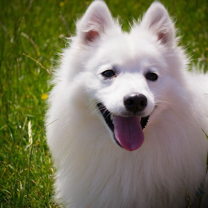 усмихнато, бяло, куче